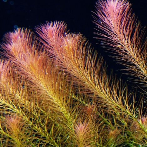 EASY GROW ROTALA WALLICHII NR 10
