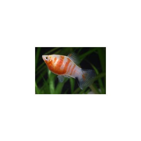 Platy red tiger zebra