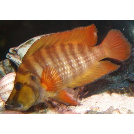 Neolamprologus compressiceps red finn