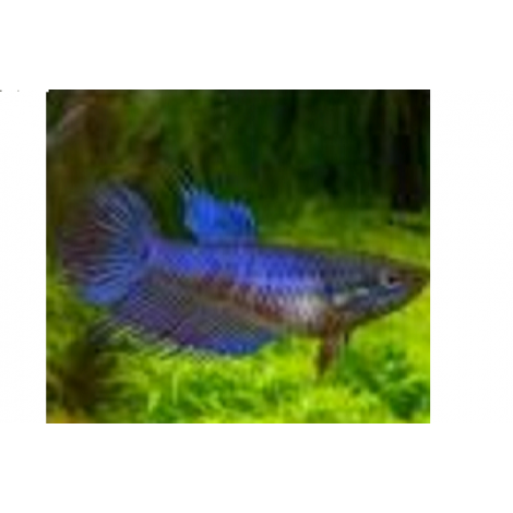 siamese kempvis vrouw crowntail